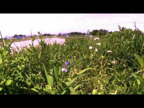 オオルリシジミの求愛飛翔 高速度映像