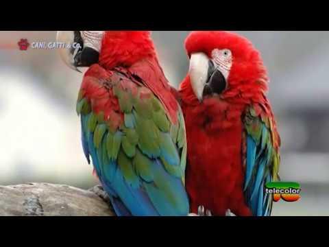 Come trattare un pappagallo a un korell per vermi