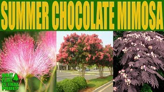 Summer Chocolate Mimosa Tree - Albizia julibrissin - Persian Silk Tree