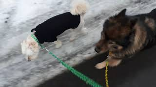Leinenführigkeit mit zwei Hunden