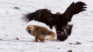 Birds of Prey Attacks ( Eagle, Falcon, Golden eagle). Атаки хищных птиц. Орел, сокол, беркут.