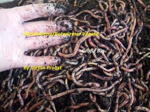 Der Husten von den Würmern bei den Kindern