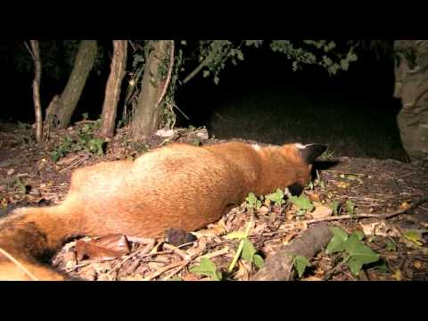 Long-distance night-vision foxshooting