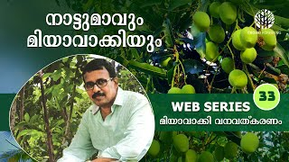 How to Protect Local Variety Mango Trees using Miyawaki Method