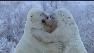 Polar Bear Fight   Nature's Great Events   BBC Earth