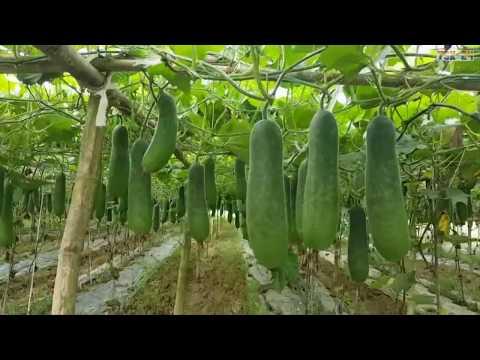 Winter melon growing technology