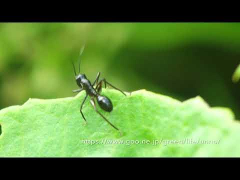 アリギリスの幼虫 Ant mimic grasshopper  Macroxiphus sp.