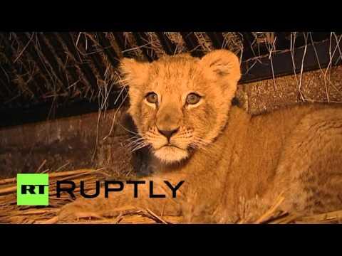 В зоопарке Дагестана львенок живет вместе с ягнятами