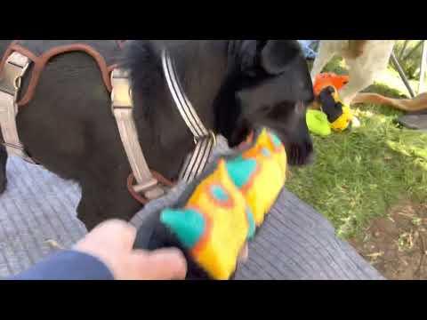 Ozzi, an adoptable Labrador Retriever Mix in Santee, CA_image-1