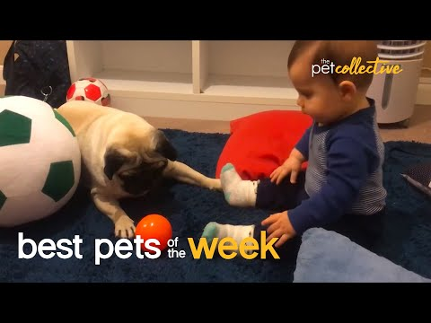 Baby & Pug Are The Ultimate Best Friends | Best Pets of the Week