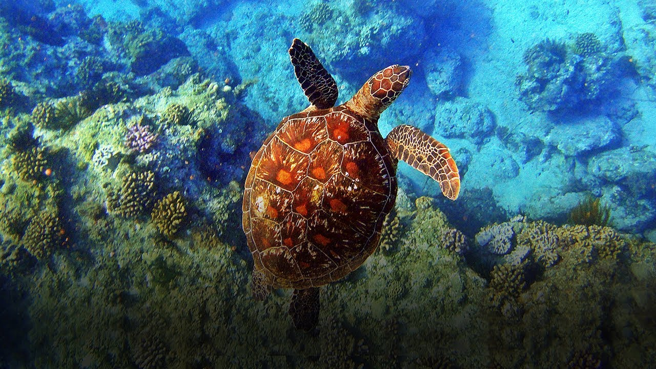 Green Sea Turtle in Liuqiu