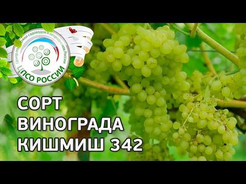 Сорт винограда Кишмиш 342. 🍇 Описание сорта винограда Кишмиш 342.