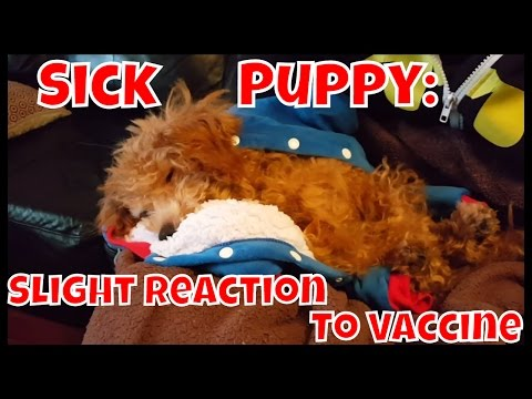 Sick Puppy: Slight Reaction To Parvovirus Vaccination - Just Gin: Cutest Dog Ever! VOL. 17