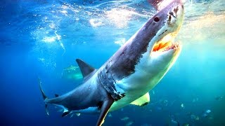 Сон Акула видео -Сонник - К чему снится Акула?