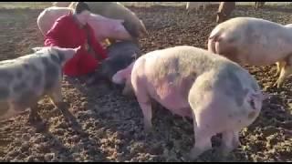 Sonnenschweinchen