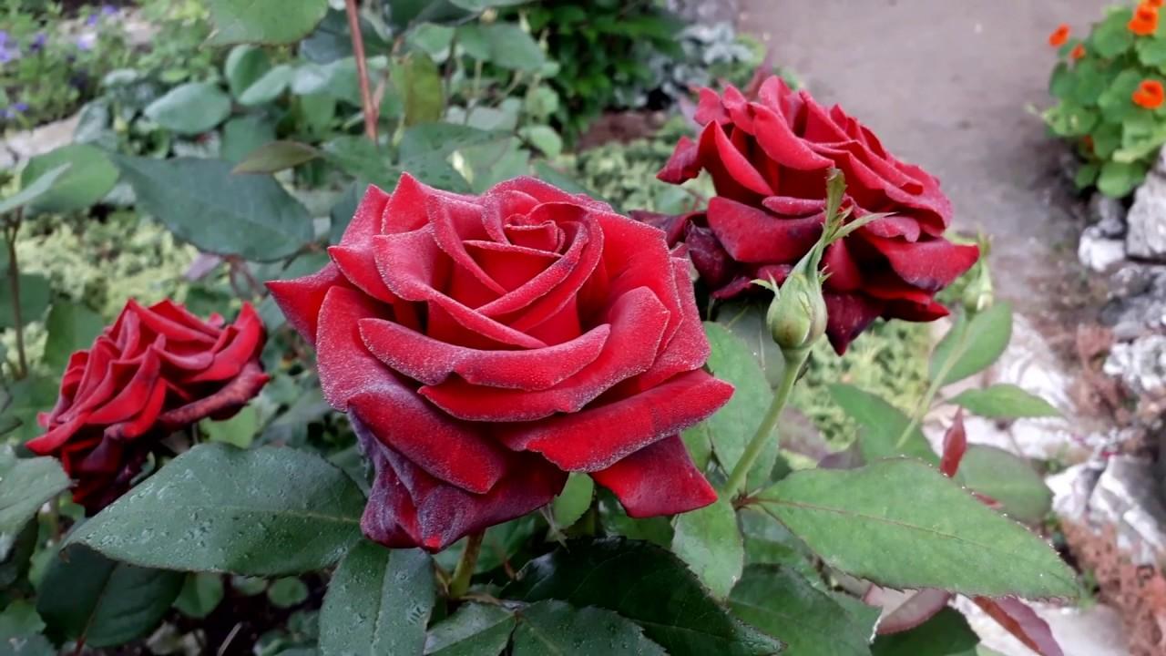 ✿➽ Роза Черная Магия в нашем саду ????2019