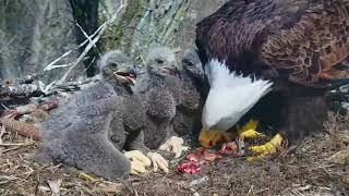 DECORAH EAGLES  🐣🐣🐣 DRAMA & HEARTBREAK ◕ EAGLE DAD MISSING ◕ MOM GOING IT ALONE ◕ INTRUDER ◕