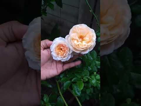 ดอกสวยมากๆ กุหลาบพุ่มอังกฤษPegasus By สวนเบญจรงค์สุคนธ์
