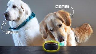 Dogs React to Amazon Alexa