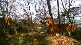 Тигры устроили фотосессию на «Земле леопарда» / Amur tigers play in Leopard Land National Park