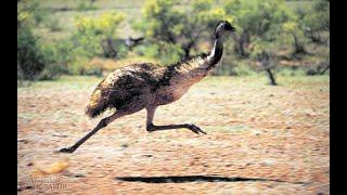 It Was Emu-sing