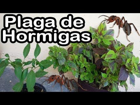 Como eliminar la Plaga de Hormigas en macetas PASO A PASO