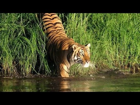 সুন্দরবন | The Home of Royal Bengal Tiger