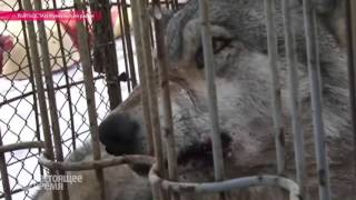 В Кыргызстане началась охота на волков
