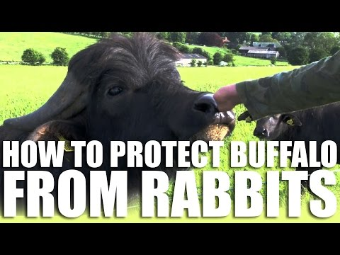 How to Protect Buffalo from Rabbits