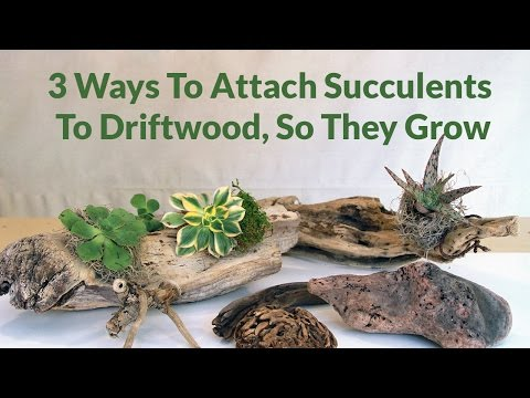 , title : '3 Ways To Attach Succulents To Driftwood, So They Can Grow / Joy Us garden