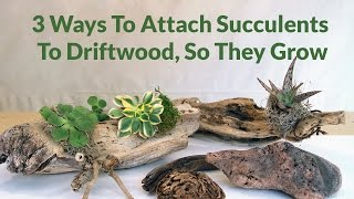 3 Ways To Attach Succulents To Driftwood, So They Can Grow / Joy Us Garden