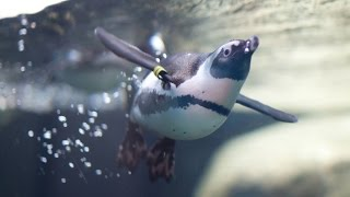 Live Penguin Cam (Underwater View) | California Academy of Sciences