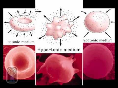 La frequenza degli impulsi con laumento della pressione sanguigna