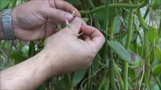 Autopolinização em uma flor de Vanilla. Pollinating a Vanilla flower