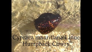 preview picture of video 'HAWAIIAN HUMPBACK COWRY SEASHELL OFF HONOLULU, HAWAII!'