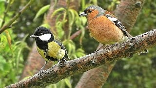 Vögel im Regen - Mit Schönen Regen Geräuschen