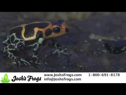 Thumbs Up for Thumbnail Dart Frogs!