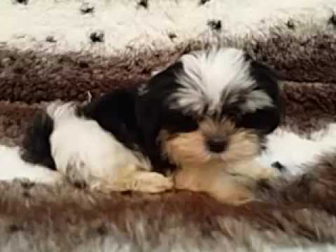 So cute and great markings- Mal-shih puppy!