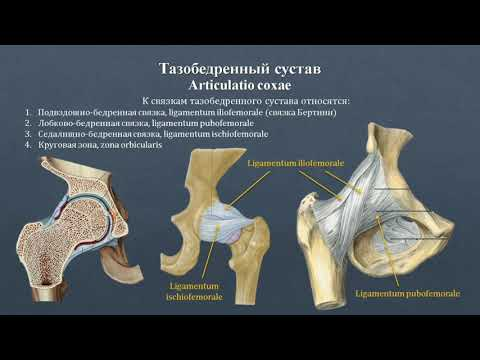 Анатомия тазобедренного сустава: строение, классификация, вспомогательный аппарат, движения