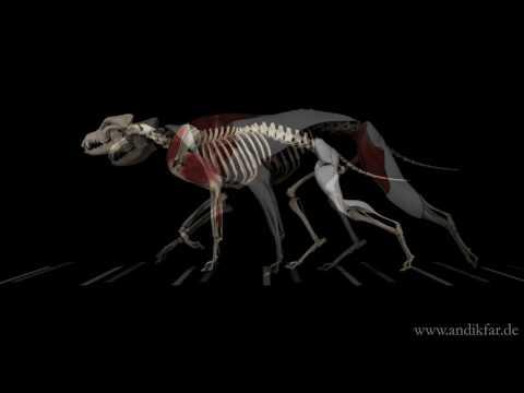 Gelenkstruktur bei Hunden Anatomie - Bewegung im Schultergelenk Grad
