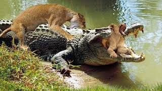 Animals Fight 2019 - Leopard vs Crocodile, Hyena vs Lion - Let's Explore the Animal Planet 2019