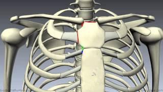 Sternum - 3D Anatomy Tutorial