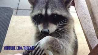 preview picture of video 'Fred the Friendly Raccoon - Part 2'