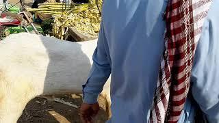 Rajanpuri Gulabi Bakra - Kênh video giải trí dành cho thiếu