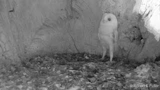 This Barn Owl Baby Just Heard Thunder For The First Time | Wildlife Moments
