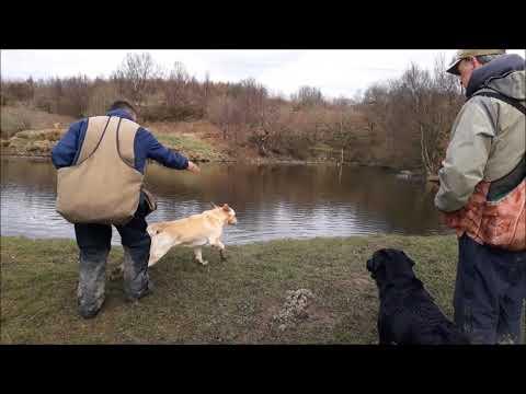 Élevage de labrador pour la chasse. Élevage de Labrador lignées de Travail.