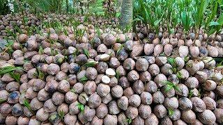 Khám Phá Vườn ươm Dừa Giống ở Bến Tre Xuất Khẩu đi Trung Quốc