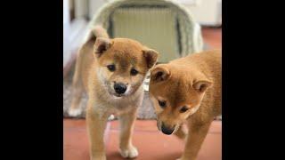 Chú chó Shiba Inu được Dogily.vn nhập khẩu. Đã tìm được chủ yêu thương là một hoa hậu nổi tiếng