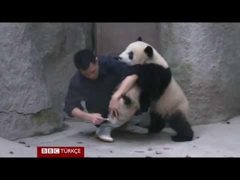 Cute panda's playing