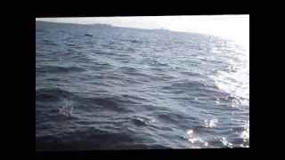 Little Choptank Dolphins